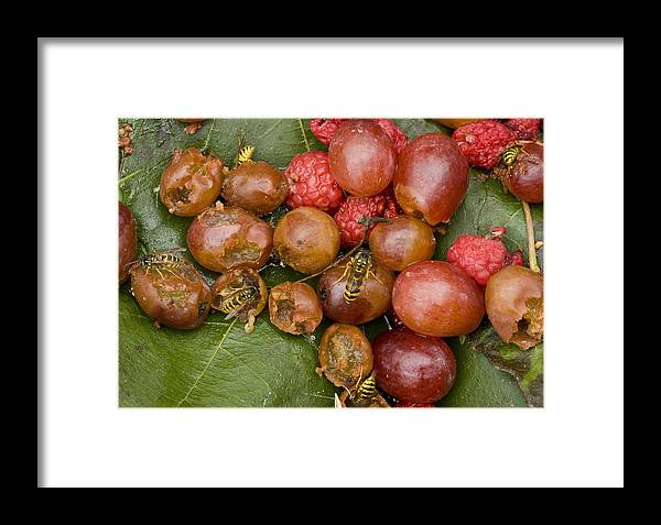 Common Wasps Framed Print featuring the photograph Common Wasps Feeding On Fruit by Bob Gibbons