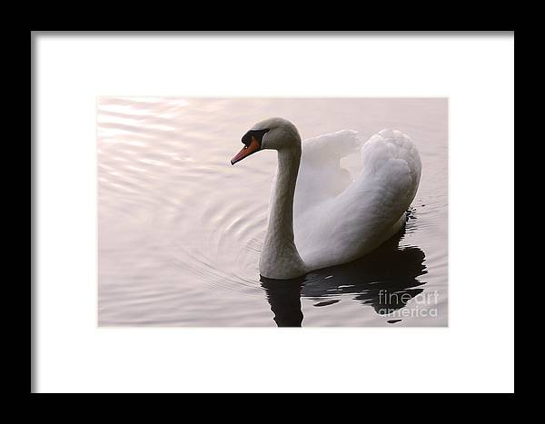 Swan Framed Print featuring the photograph Completely Elegant by Bob Christopher