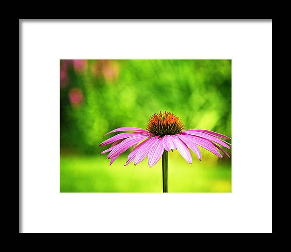 Coneflower Framed Print featuring the photograph Coneflower In Pink And Green by Vicki Jauron