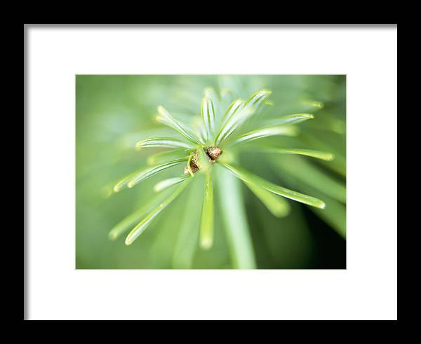Conifer Framed Print featuring the photograph Conifer Leaves by Lawrence Lawry