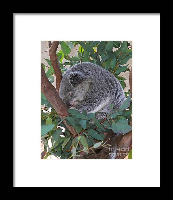 Koala Framed Print featuring the photograph Cooladi by Carol Bradley