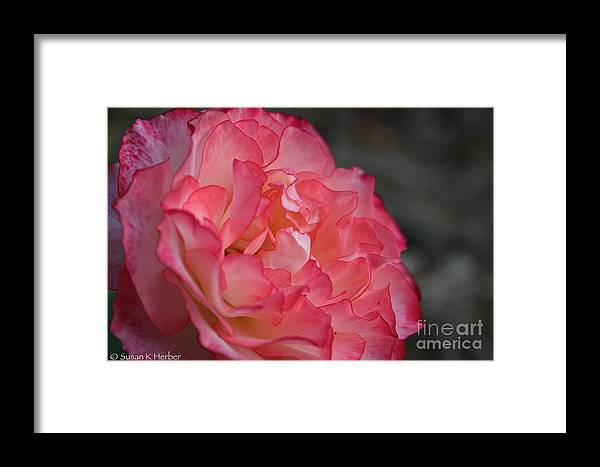 Flower Framed Print featuring the photograph Coral Ruffles by Susan Herber