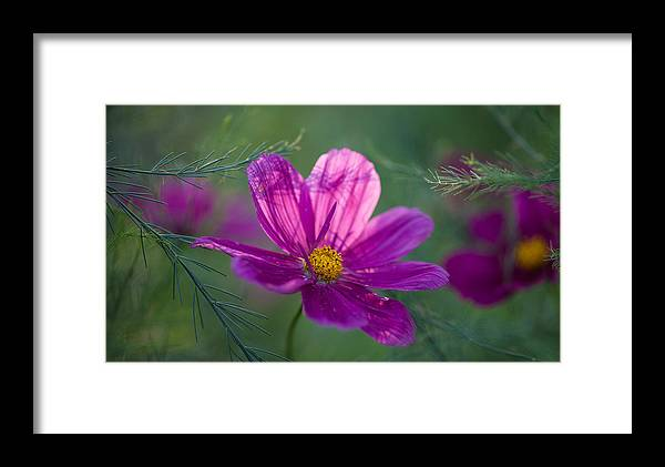 Flower Framed Print featuring the photograph Cosmos Dreamland by Mike Reid