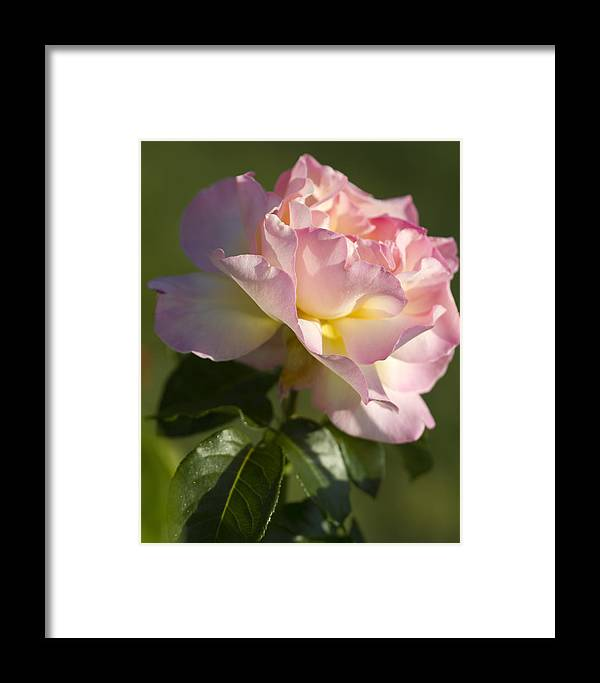 Peace Rose Framed Print featuring the photograph Cotton Candy Pink Peace Rose by Kathy Clark