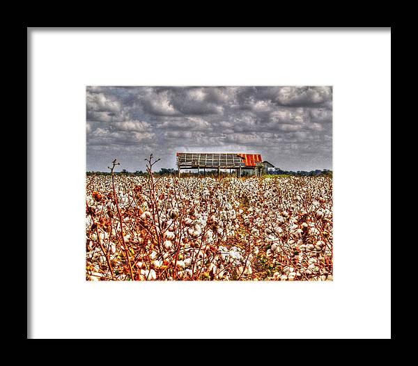 Cotton Framed Print featuring the photograph Cotton Field by Kevin Pugh