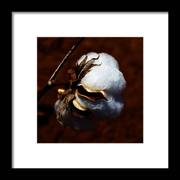 Cotton Framed Print featuring the photograph Cotton's Inner Light by Kathy Clark