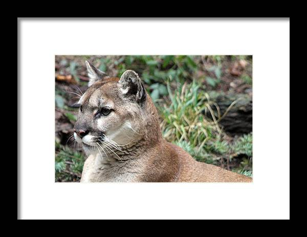 Northwest Trek Framed Print featuring the photograph Cougar - 0006 by S and S Photo