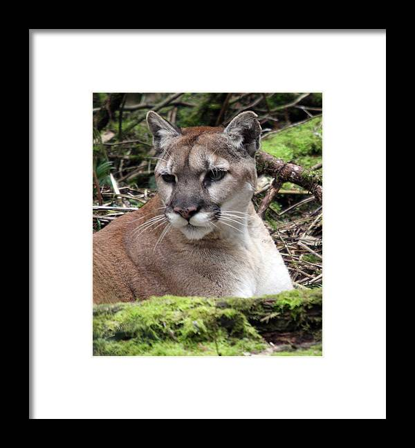 Northwest Trek Framed Print featuring the photograph Cougar - 0010 by S and S Photo