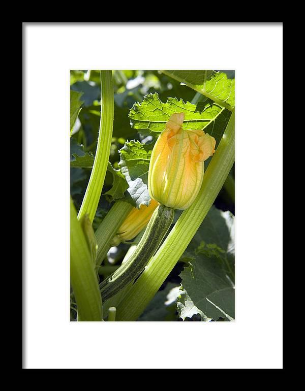 Cucurbita Pepo Framed Print featuring the photograph Courgette (cucurbita Pepo) by Sheila Terry