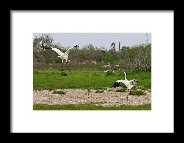 Whooping Cranes Framed Print featuring the photograph Courtship With Audience by Sally Mitchell