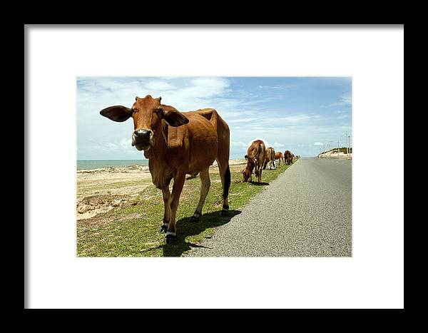 Cow Framed Print featuring the photograph Cows At The Sea by Thuy Tran