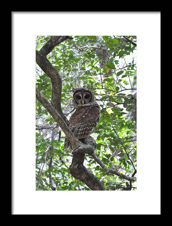 Mother Barred Owl Framed Print featuring the painting Coy Owl by AnnaJo Vahle