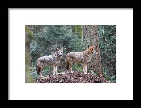 Northwest Trek Framed Print featuring the photograph Coyote - 0011 by S and S Photo