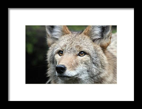 Northwest Trek Framed Print featuring the photograph Coyote - 0031 by S and S Photo