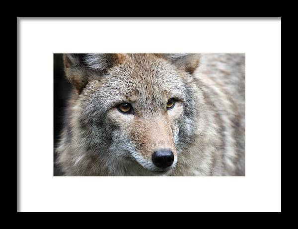 Northwest Trek Framed Print featuring the photograph Coyote - 0034 by S and S Photo