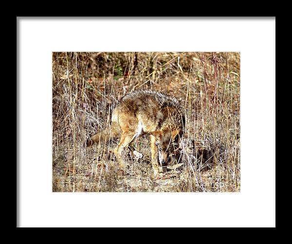 Nature Framed Print featuring the photograph Coyote - American Prairie Wolf by Jack R Brock