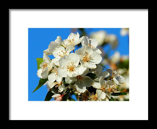 Floral Framed Print featuring the photograph Crab Apple Blossom Macro 001 by Lance Vaughn