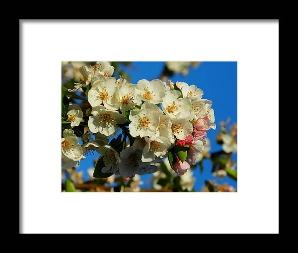 Floral Framed Print featuring the photograph Crab Apple Blossom Macro 002 by Lance Vaughn