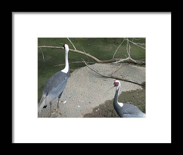 Cranes Framed Print featuring the painting Cranes by Suzanne Buckland