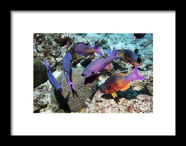 Clepticus Parrae Framed Print featuring the photograph Creole Wrasse At A Cleaning Station by Georgette Douwma