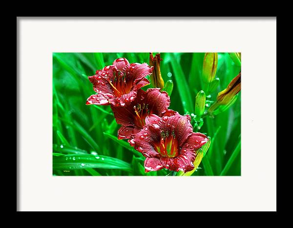 Flowers Framed Print featuring the photograph Crimson Lilies In April Shower by Lisa Spencer
