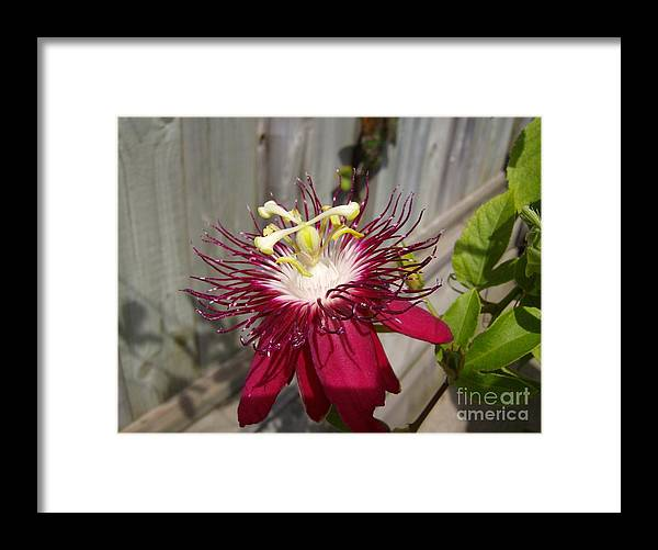 Framed Print featuring the photograph Crimson Passion Flower by Jane Whyte