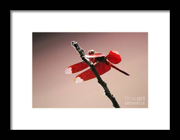 Dragonfly Framed Print featuring the photograph Crimson Wings At Dusk by Nola Lee Kelsey