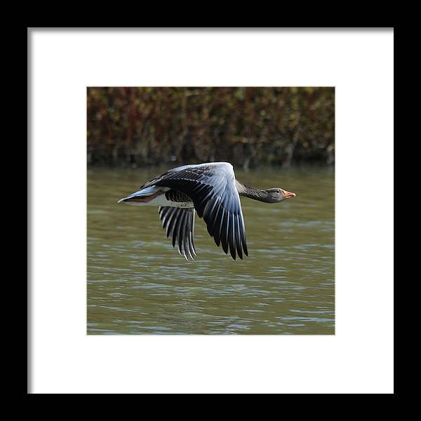 Flying Framed Print featuring the photograph Cruising On A Sunday Afternoon by Martin Crush