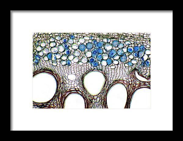 Cucumber Framed Print featuring the photograph Cucumber Stem, Light Micrograph by Dr Keith Wheeler
