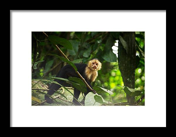 Monkey Framed Print featuring the photograph Curiosity by Simone Pastore