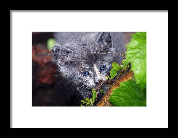 Cat Kitten Wild Nature Stray Baby Wildlife Framed Print featuring the photograph Curious Kitten by Mark Marotta