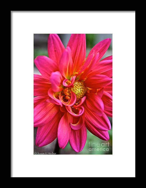 Garden Framed Print featuring the photograph Curly Dahlia by Susan Herber