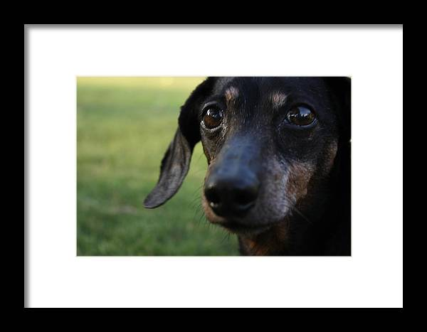 Framed Print featuring the photograph Dachshund by Daniel Parker