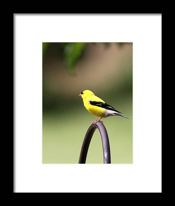 Goldfinch Framed Print featuring the photograph Daddy Gold by Travis Truelove