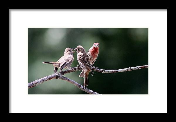 House Finch Framed Print featuring the photograph Daddy Waits by Travis Truelove