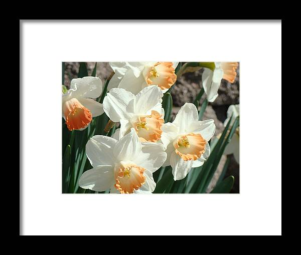 Daffodil Framed Print featuring the photograph Daffodil Flowers art prints Spring Floral by Patti Baslee