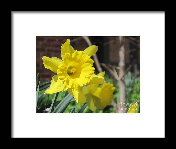 Flowers Framed Print featuring the photograph Daffodills by Barbara Milhender