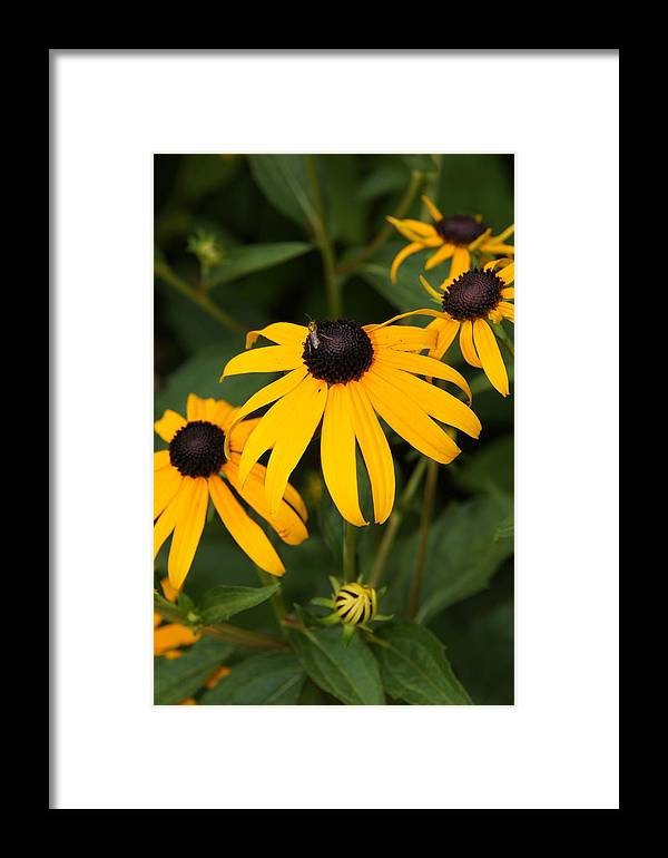 Daisy Framed Print featuring the photograph Daisies by Megan Cohen