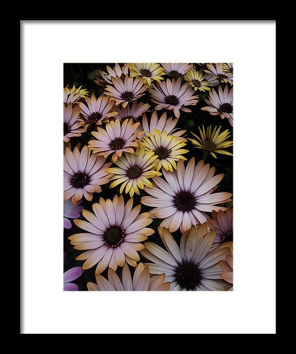 Daisy Framed Print featuring the photograph Daisy Beauty by Pamela Roberts-Aue