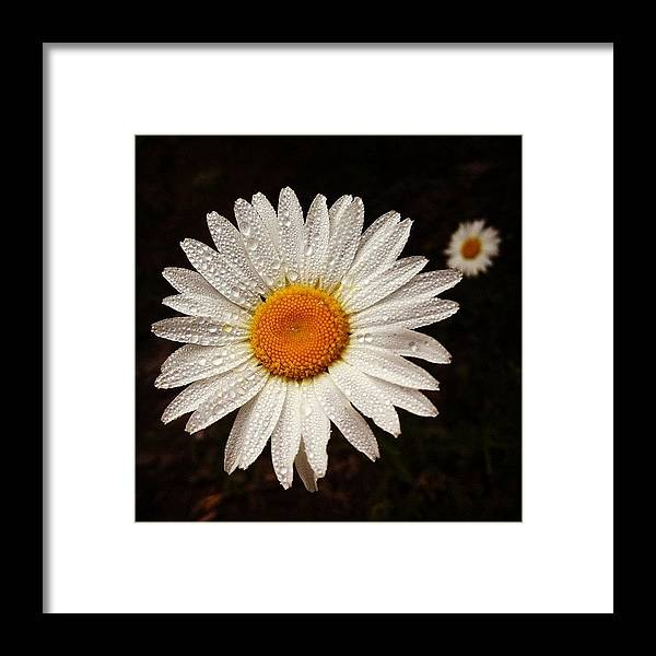 Framed Print featuring the photograph Daisy Dew by Steve Garfield