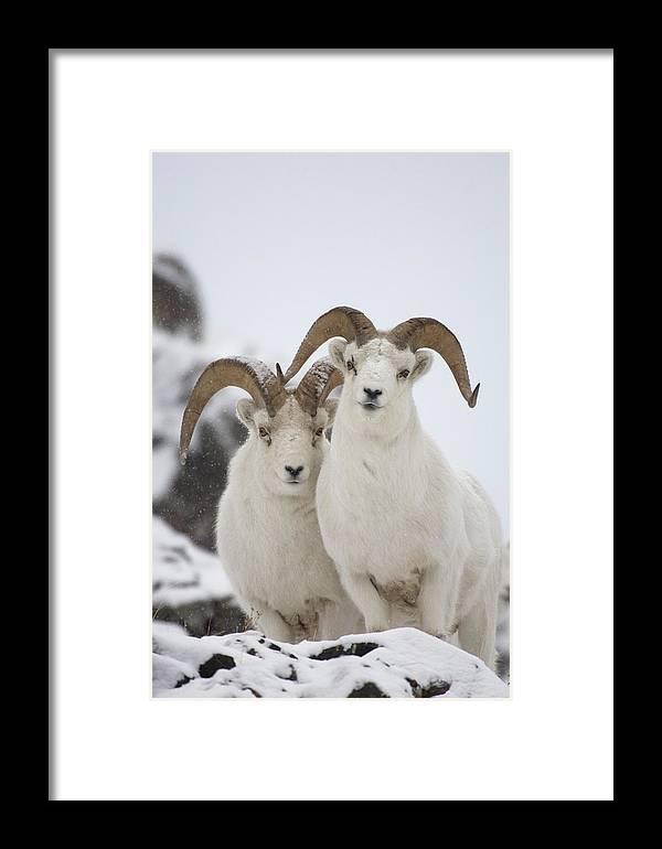 Mp Framed Print featuring the photograph Dall Sheep Ovis Dalli Rams, Yukon by Michael Quinton