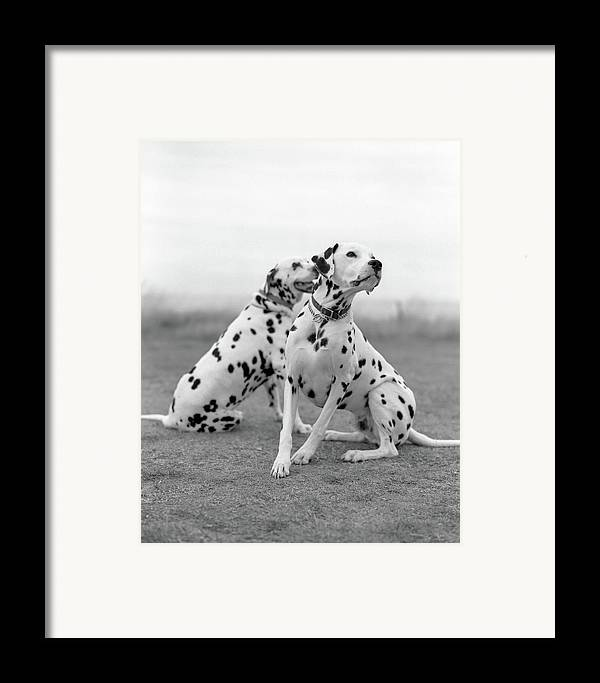 Vertical Framed Print featuring the photograph Dalmatians by Tadas Kazakevicius Copyrigted