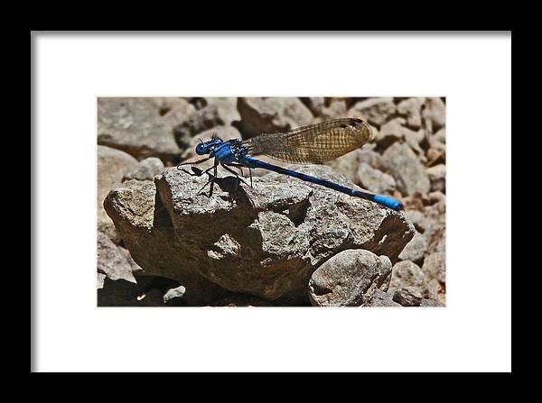 Damselfly Framed Print featuring the photograph Damselfly by Daniele Smith