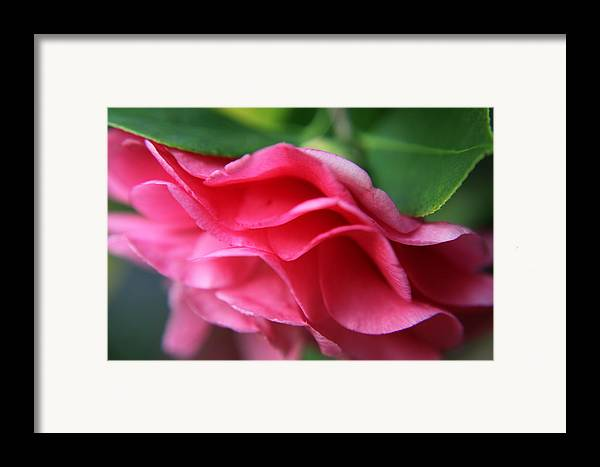 Flowers Framed Print featuring the photograph Dancing Petals Of The Camellia by Enzie Shahmiri