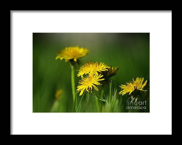 Photograph Framed Print featuring the photograph Dandelion Magic by Vicki Pelham