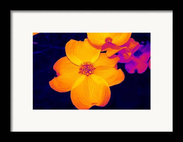 Flower Framed Print featuring the photograph Daring Dogwood I by Tessa Murphy