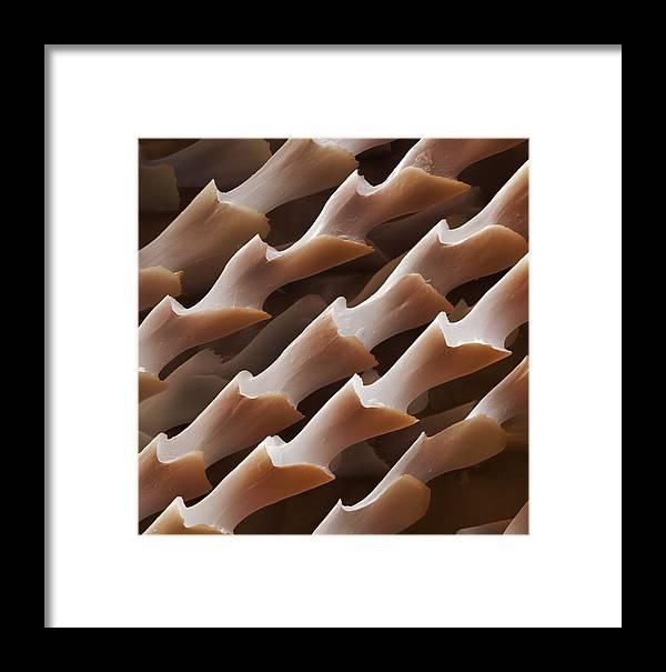 Myotis Daubentonii Framed Print featuring the photograph Daubenton's Bat Hairs, Sem by Power And Syred