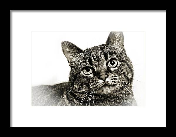 Tabby Cat Framed Print featuring the photograph Day Dreamer by Andee Design