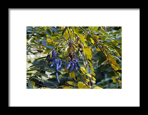 Foliage Framed Print featuring the photograph Decaisnea Fargesii by Dr Keith Wheeler