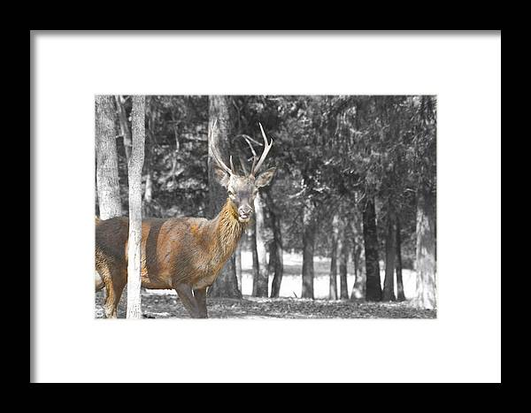 Deer Framed Print featuring the photograph Deer In The Forest by Douglas Barnard